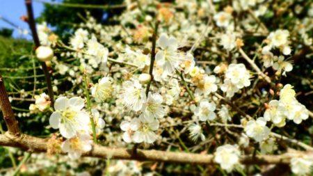 梅の花が満開「今が見頃」